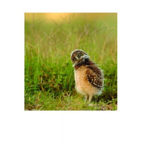Birthday - Baby Burrowing Owl