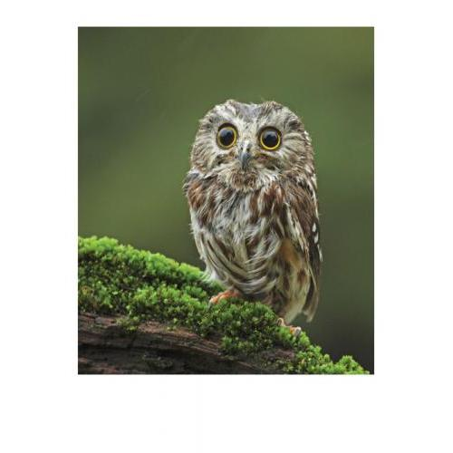 Birthday - Owl