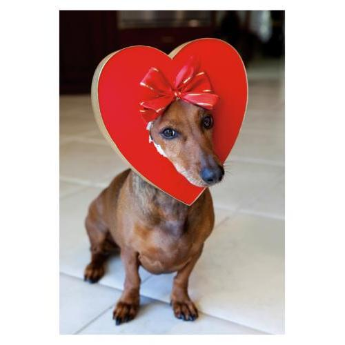 Valentine - Candy Box Dog