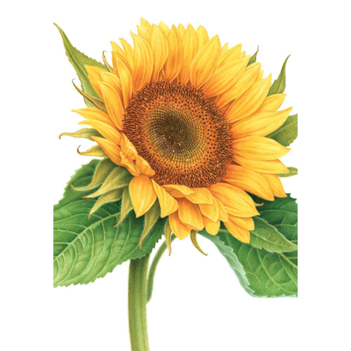 Mothers Day - Sunflower