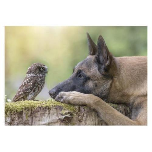Birthday - Shepherd With Owl
