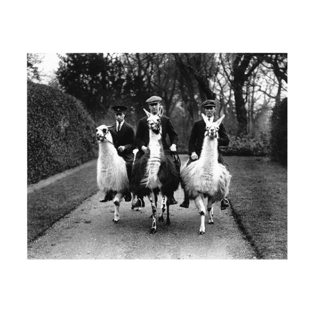 Postcard - Ampthill House Llama Farm