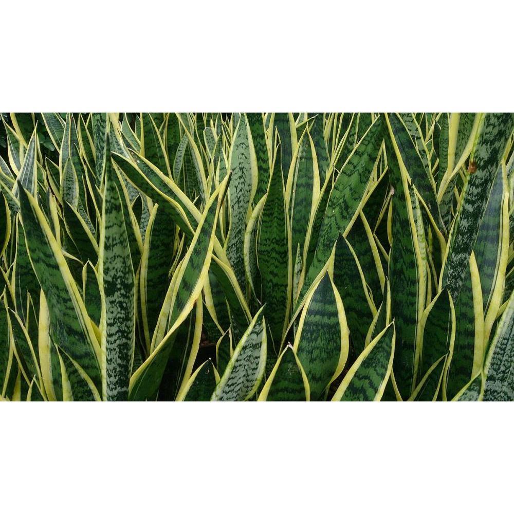 Live Plant - Viper Bowstring Sansevieria