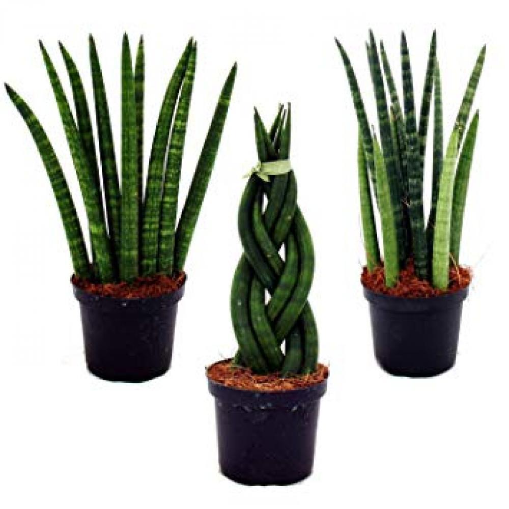 Live Plant - Cylindrica Sansevieria Braided