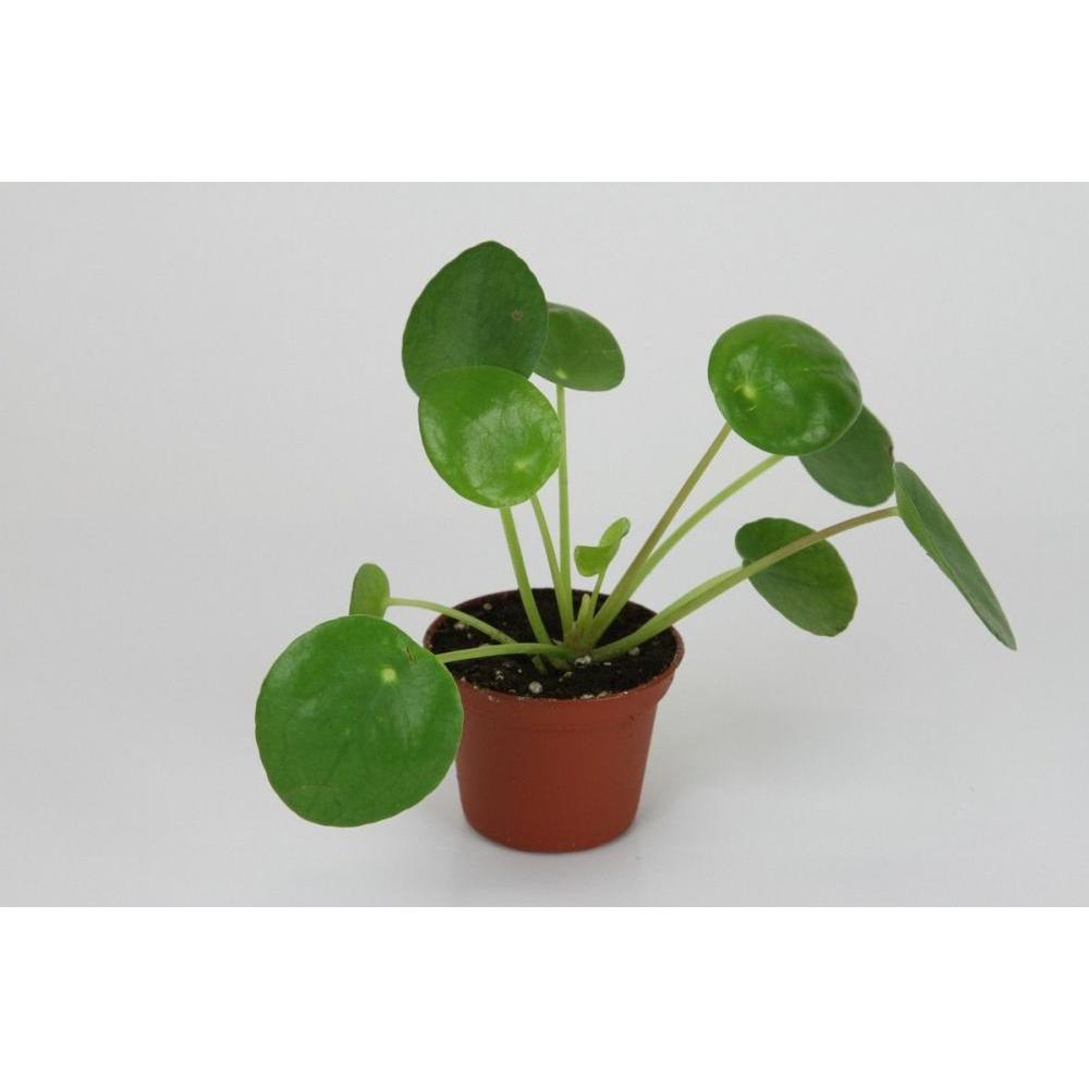 Live Plant  - Pilea Pass it on Plant