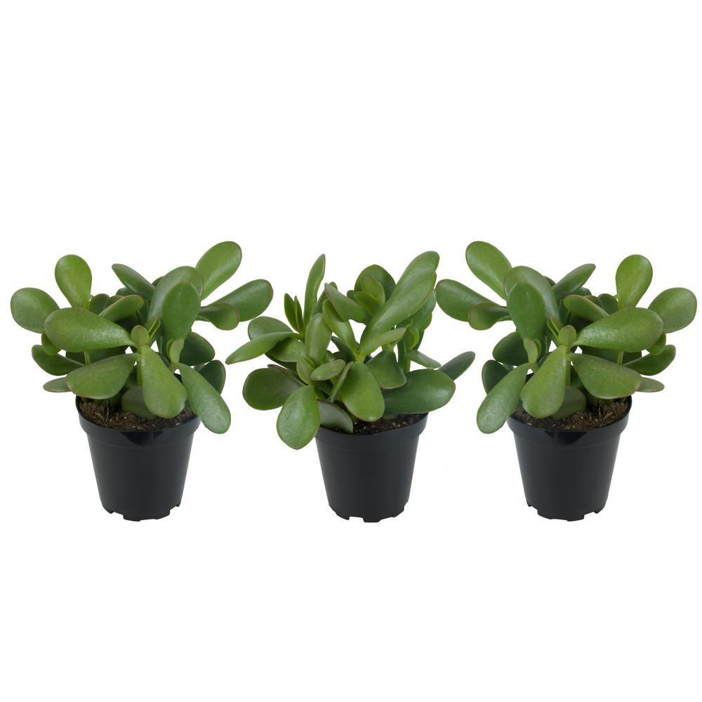 Live Plant - Jade Succulent 2inch