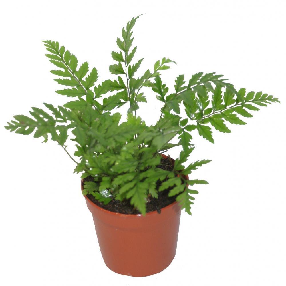 Live Plant - Fern