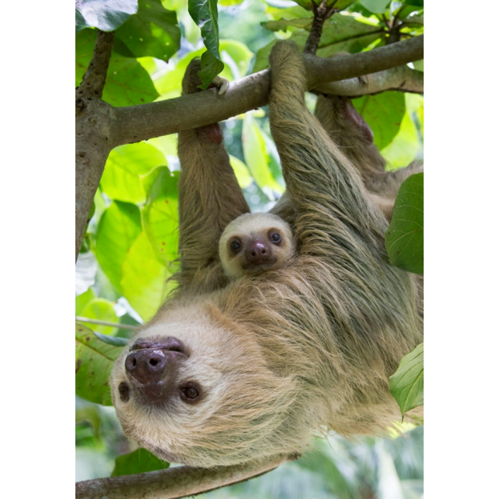 Any Occasion - Sierra Club - Sloth