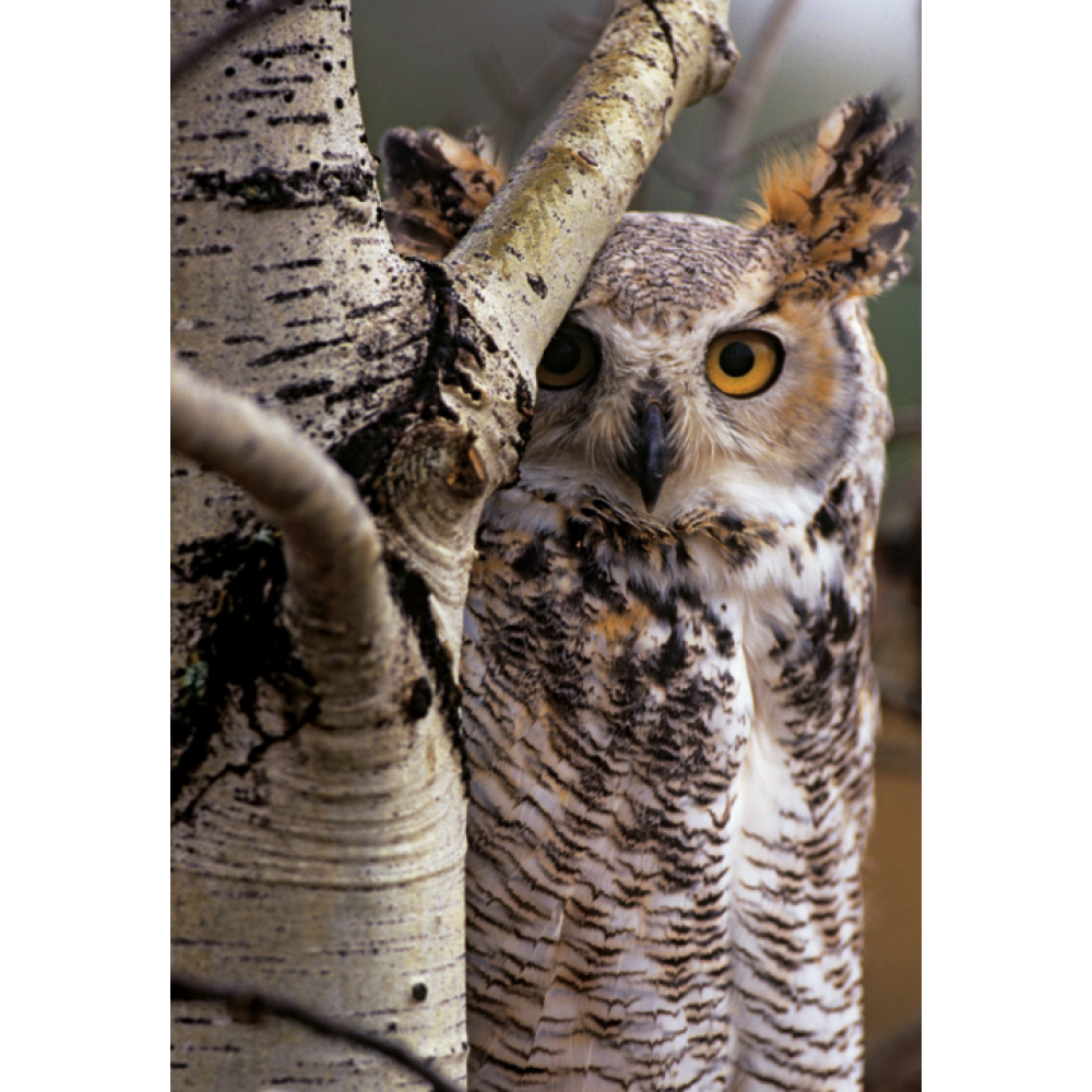 Any Occasion - Sierra Club - Great Horned Owl