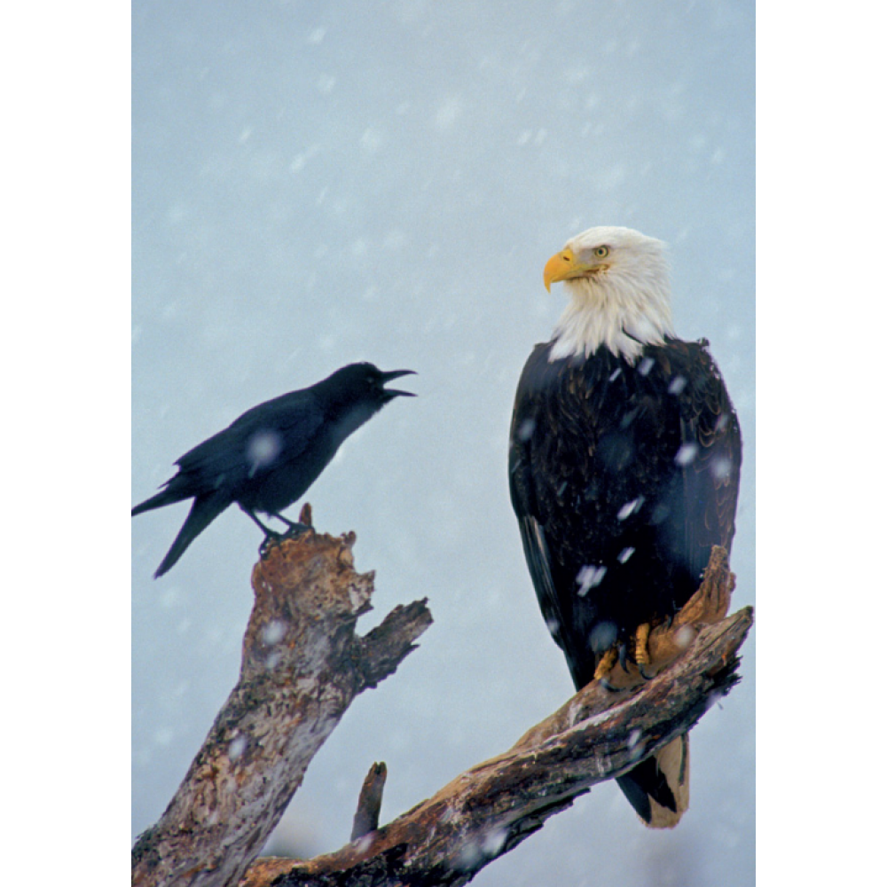 Any Occasion - Crow Bald Eagle