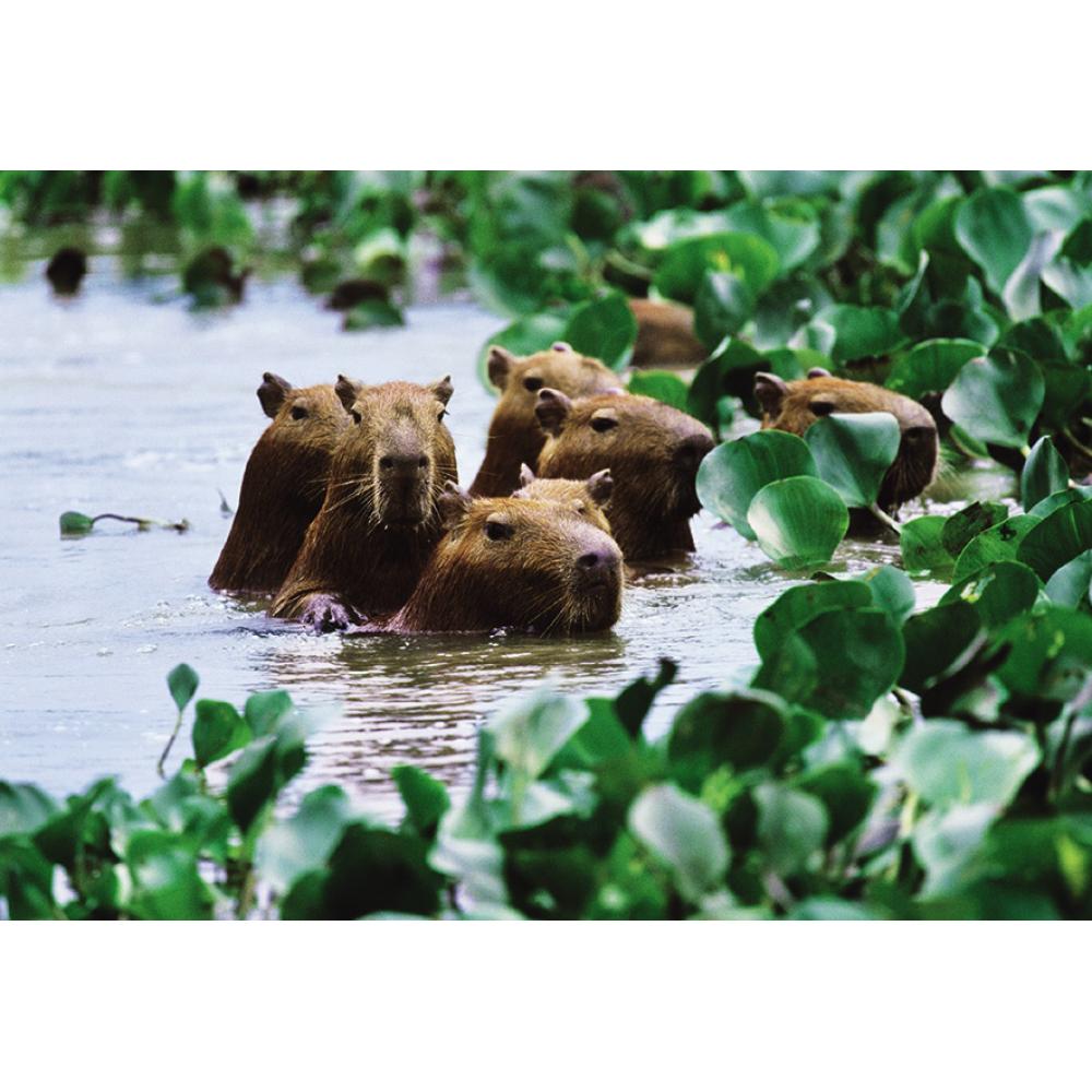 Any Occasion - Capybara